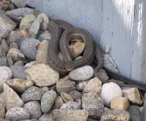 ¿Qué hago si tengo una serpiente en casa?
