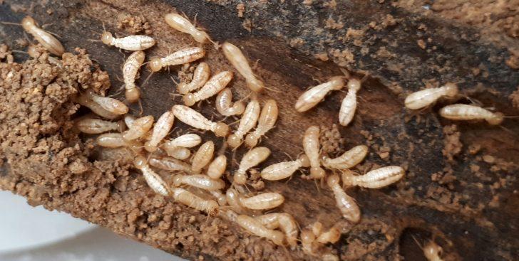 19 curiosidades increíbles sobre termitas