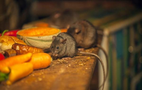 ¿Como se si hay roedores reproduciéndose en mi casa?