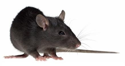Eliminar ratas